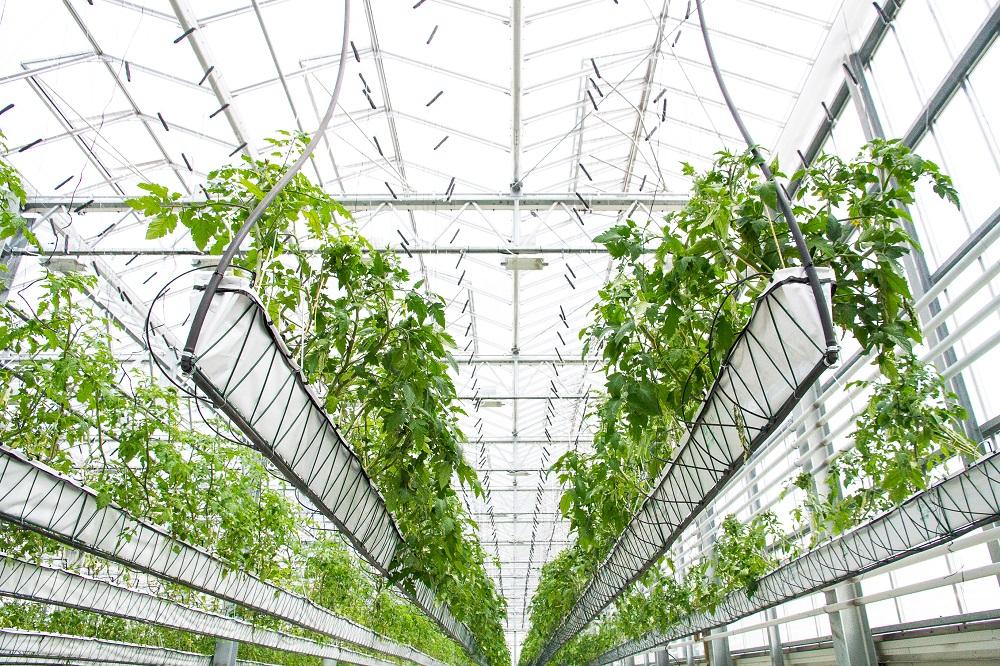 tomatenplanten in De Schilde